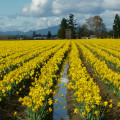Daffodils fields of the Skagit Valley